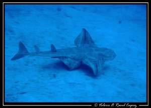 This Angel shark likes hiding himself under the sandy bot... by Raoul Caprez 